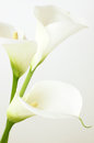 Calla lilies Royalty Free Stock Photo