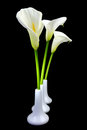 Calla lilies in white vases on black background Royalty Free Stock Image