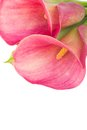 Calla lilly flowers close up isolated on white background Royalty Free Stock Photos