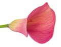 Calla lilly Royalty Free Stock Photo