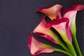 Calla lilly pink flowers on black background Stock Images