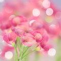 Calla lilly pink flowers on defocused bokeh background Stock Photo