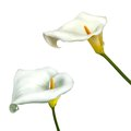 Calla lily flower isolated on a white background Royalty Free Stock Photo