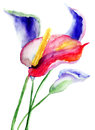 Calla lily flowers watercolor illustration Stock Photography