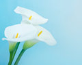 Calla lily over blue background Stock Images