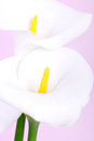 Calla lily over pink background close up Royalty Free Stock Photography
