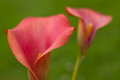 Calla lily red flowers Royalty Free Stock Photo