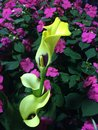 Calla Lily Yellow Royalty Free Stock Photo