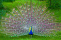 Caller peacock with feathers binte Stock Images