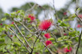 Calliandra haematocephala hassk flower in park Stock Photos