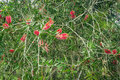 Callistemon citrinus, Crimson Bottlebrush Royalty Free Stock Image