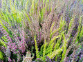 Calluna flowers closeup of in many beautiful colors Royalty Free Stock Photography