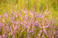 Calluna vulgaris flowers on meadow Stock Photo