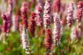 Calluna vulgaris (heather) Stock Photo