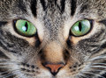 Calm Cat Eye Macro Stock Image