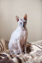 Calm cat sphinx sitting bed bedroom Royalty Free Stock Images