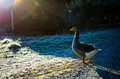 Calm goose warming in the sunlight Royalty Free Stock Photo