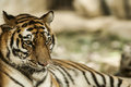 Calming tiger portrait of a bengal tiger Royalty Free Stock Image