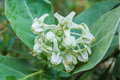 Calotropis colorful white flower crown flower in a park Royalty Free Stock Image