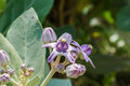 Calotropis colorful white and purple flower crown flower in a park Stock Photo
