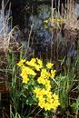 Caltha palustris growing in swamp. Spring flowers. Marsh Marigold flowers Royalty Free Stock Photo