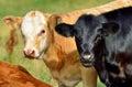 Calves Royalty Free Stock Photo