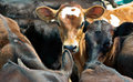 Calves or cows in a feedlot Stock Photos