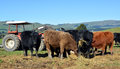 Calves eating lucerne hay on new zealand farm mixture of friesian and angus month old a north canterbury hill in the scargill Stock Photo
