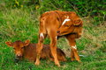 Calves on meadow Stock Photography