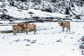 Calves in the snow pyrenees france first falls are still outside Stock Photos