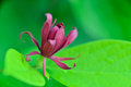 Calycanthus floridus common name carolina allspice Stock Image