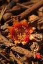 CALYX OF POMEGRANATE FLOWER ON A COMPOST HEAP