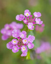Camara lantana linn Royalty Free Stock Images