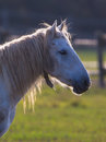 Camargue horse portrait backlight Royalty Free Stock Photo