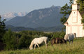 Camargue horses high above the murnauer moos Royalty Free Stock Photo