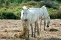 Camargue white wild horses Royalty Free Stock Photo