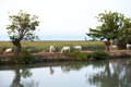 Camargue wild horses grazing by water Royalty Free Stock Photo