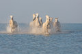 Camargue, wild horses Royalty Free Stock Photo