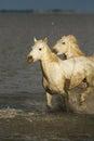 Camargue wild horses Royalty Free Stock Photo