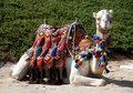 Picture : Camel   by