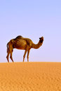 Camel alone in desert Stock Image