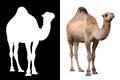 Camel Animal Over White