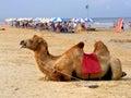 Camel on the beach in leizhou peninsula china Stock Image