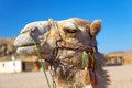 Camel in bedouin village egypt poor Royalty Free Stock Photo