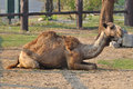 Camel camels are able to withstand changes in body temperature and water consumption that would kill most other animals Royalty Free Stock Photos