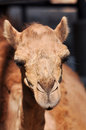 Camel camels are able to withstand changes in body temperature and water consumption that would kill most other animals Royalty Free Stock Images