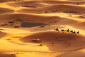 Camel caravan going through the sand dunes in the sahara desert morocco Stock Photos