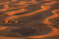 Camel caravan going through the sand dunes in the Sahara Desert, Royalty Free Stock Photo