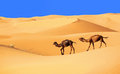 Camel caravan in the sahara desert morocco Stock Image