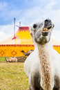 Camel and circus one on a meadow in front of a tent Royalty Free Stock Image